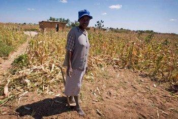 La sequía provocada por El Niño ha aumentado el hambre en Zimbabwe. Foto de archivo: Kate Holt/IRIN
