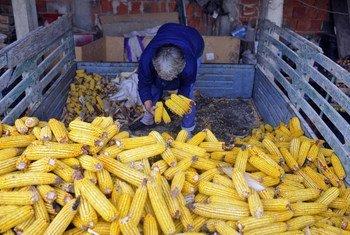 Un agriculteur serbe avec sa récolte. Photo FAO/Oliver Bunic