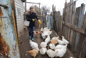 Un agriculteur nourrissant ses poulets à Louhansk, dans la région du Donbass, en Ukraine. Photo FAO/Alexey Filippov