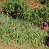 Cultivos de opio. Foto de archivo: UNODC