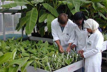 Investigadores comprueban el desarrollo de cultivos de  banano irradiados en un laboratorio en Austria. Foto D. Calma/OIEA