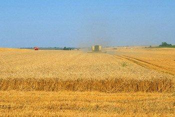 Champ de blé en France. Photo : FAO / Olivier Thuillier