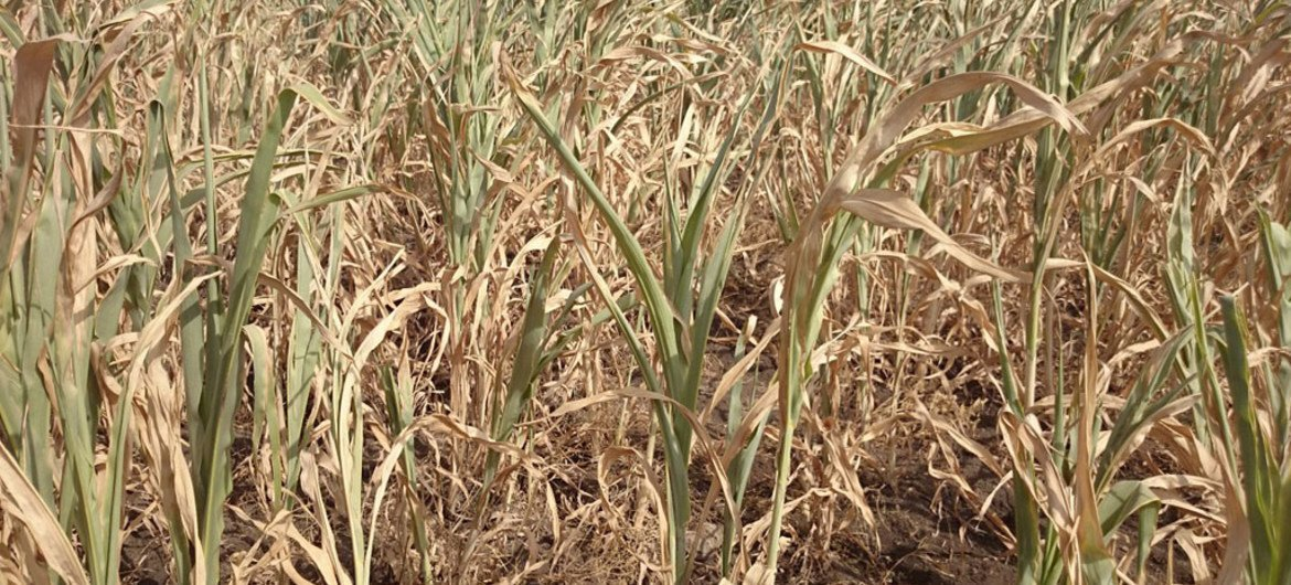 Failed sorghum crop, as the current El Niño pattern, being the strongest ever recorded, has caused severe drought in Ethiopia.