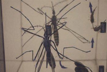 El mosquito Aedes es transmisor del virus del Zika. Foto:  Kate Mayberry/IRIN