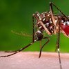 A femaleAedes Aegyptimosquito in the process of acquiring a blood meal from her human host.
