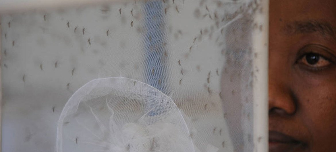 Mosquitoes in a laboratory. Removing stagnant water used by these insects to breed is crucial in combating the spread of Zika.