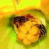 Пчела – одно из самых трудолюбивых созданий в природе – издавна приносит пользу человеку и окружающей среде.