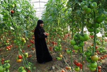 سيدة في مزرعة أسرتها في طرطوس بسوريا. المزرعة هي واحدة من المشاريع التي يدعمها برنامج الأمم المتحدة الإنمائي في سوريا. الصورة:الأمم المتحدة.