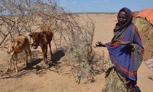 受厄尔尼诺极端气候现象影响,埃塞俄比亚遭遇30年来最严重干旱,1020万民众急需食物援助。