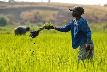 A farmer in the Democratic Republic of Congo weeds his rice field.