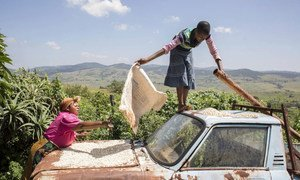 Drying corn on the hood of the family truck in Manyandzeni Village, Swaziland.