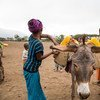 Girls in Lode Lemofo kebele, located in the Great Rift Valley of Ethiopia, place their water jerrycans on a donkey after filling it from a newly built water point.