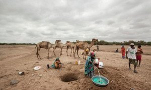 In Somaliland and Puntland, close to two million people are affected by the drought amid the El Niño phenomenon. WFP/Petterik Wiggers