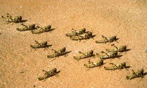 Juvenile desert locust hoppers.