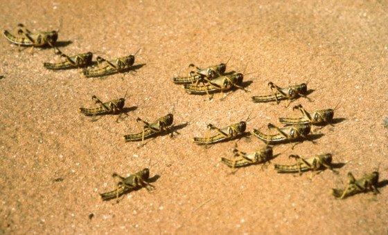 As fêmeas dos gafanhotos do deserto podem colocar até 300 ovos durante a vida.