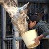 Une girafe dans le film, Giraffada, réalisé par Rani Massalha et produit par Pyramide Films. Le film a été projeté à l'ONU le 7 avril 2016.