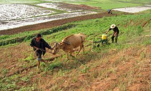 Cultivating a field in the Democratic People's Republic of Korea (DPRK).