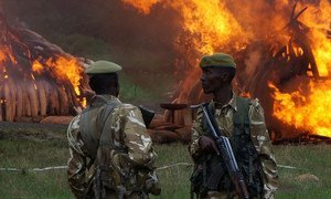 105 tonnes of ivory from over 7,000 elephants and 1.35 tonnes of rhino horn was burned in Nairobi, Kenya, on 30 April 2016, in an urgent call to action to end the poaching crisis.
