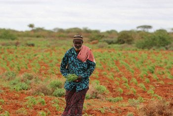 Ahmed Farah Mohamed, chef du village de Berititir, en Somalie, fait pousser du sorgho. Photo FAO/Frank Nyakairu