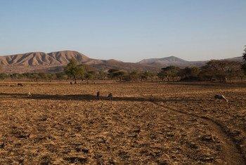 La sécheresse attribuée en partie au phénomène El Niño a gravement affecté la zone Arsi, en Ethiopie. Photo : OCHA / Charlotte Cans