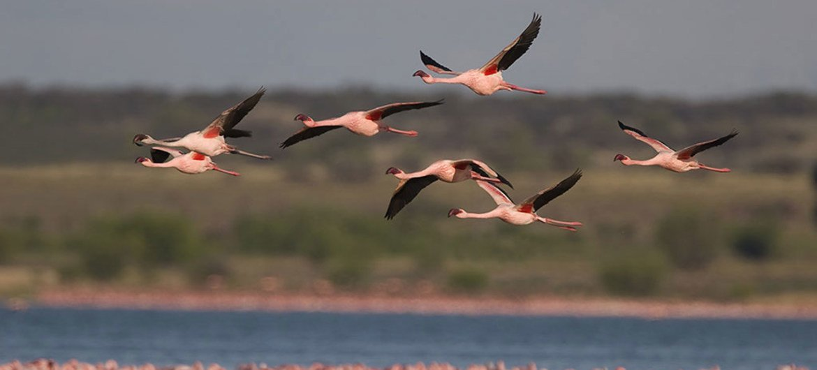 Lesser Flamingo (Phoeniconaias minor). They become pink only after several years, indicating many of the birds passing through Nur-Sultan are young. Photo: Mark Anderson