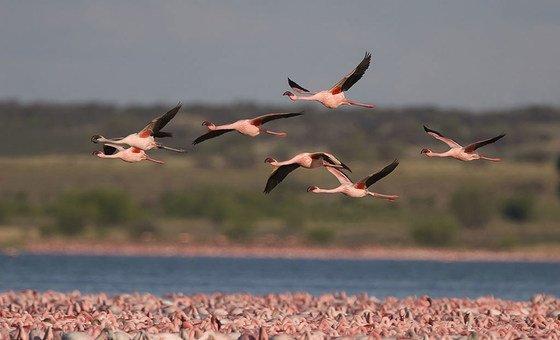 Фламинго - в числе перелетных птиц, которых в ООН призывают защищать от последствий изменения климата