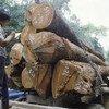 La FAO y la Unión Europea redoblarán esfuerzos contra la tala y el comercio ilegal de madera. Foto: FAO/L.Taylor
