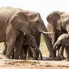 Entre 2010 e 2012, 100 mil elefantes foram mortos por seu marfim na África.