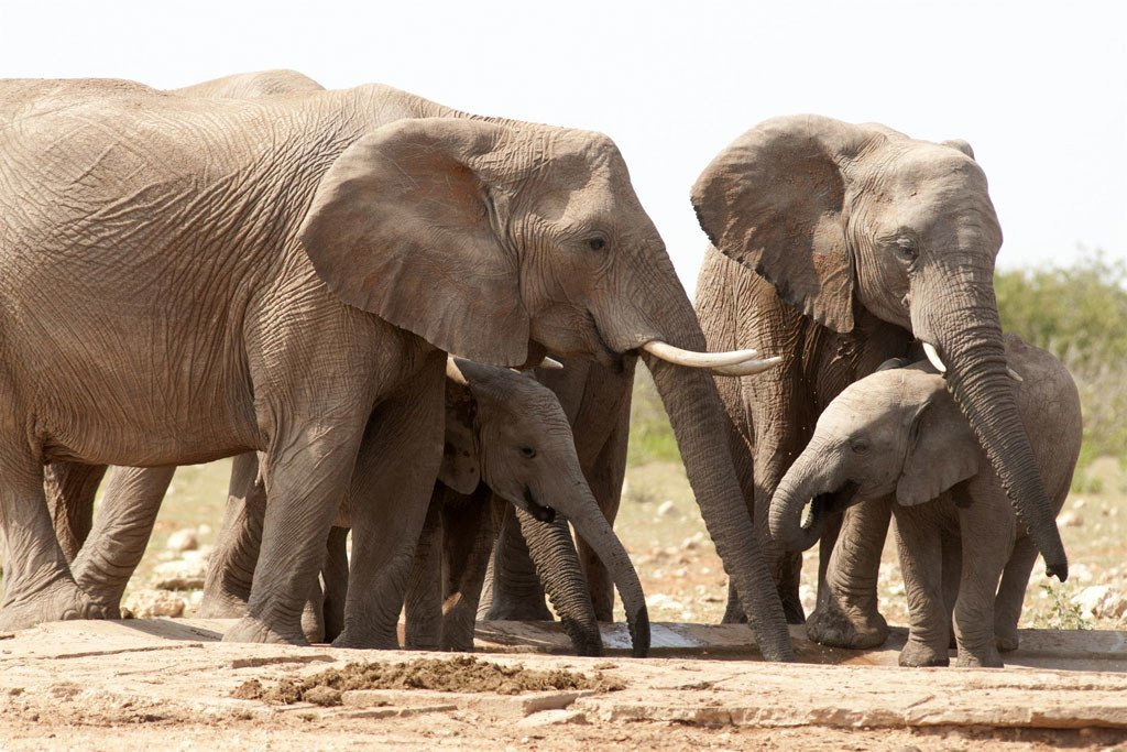 Los elefantes africanos están en peligro, ya que son vícticas de la caza furtiva para obtener sus preciados colmillos de marfil.