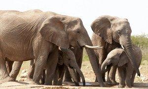 Des éléphants dans le parc national d'Etoscha, en Namibie