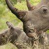 Existem no mundo cinco espécies de rinocerontes e, de acordo com a ONU Ambiente, todas estão em risco de extinção.