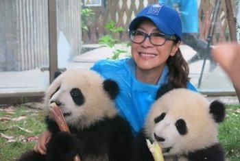 """开发署亲善大使、国际影星杨紫琼在成都大熊猫基地与""""启启""""和""""点点""""合影。图片提供:联合国开发计划署"""