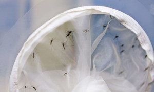 Soon-to-be sterilized male mosquitoes are clearly visible after being captured by a net.