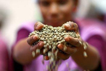 Primeira colheita de café deve acontecer este ano após a época das monções