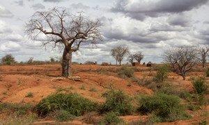 Baobab tree in a degraded, arid landscape in Kenya's Eastern province.