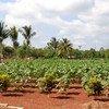 Vivero de cooperativa periurbana en Cuba. Foto de archivo: FAO