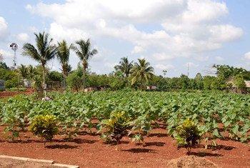 Crops at the periurban agriculture cooperative Vivero Alamar, Cuba.