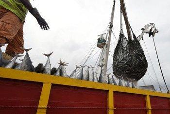 Descarga de atún en el puerto de Abidjan, en Costa de Marfil.