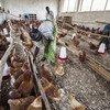 El virus H5N1 de la gripe aviar se ha detectado en seis países de África central y occidental. Foto: FAO/Isaac Kasamani