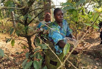 Agro-forestry farmers tend to their crops in Kigoma, Tanzania. Forests are an integral part of the national agriculture policy with the aim of protecting arable land from erosion and increasing agricultural production.