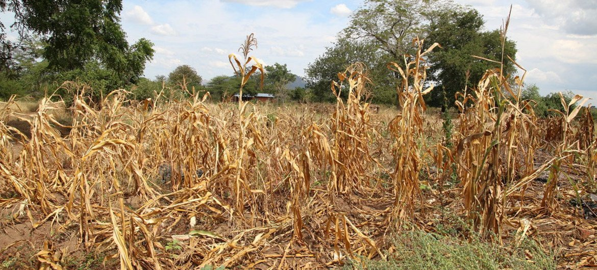 Wilted crops in Neno district, Malawi.