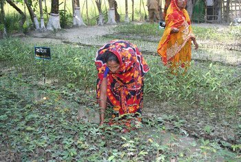 Women in Char Kukri-Mukri, Bangladesh tending to mangrove saplings which will be turned into a mangrove forest to protect the eroding coast.
