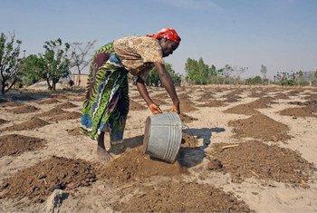 La sequía ha agudizado los problemas de desnutrición crónica en África. Foto: FAO/Desmond Kwande