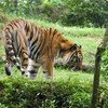 The Sumatran tiger is classified as a critically endangered species on the Indonesian island of Sumatra. This smallest sub-species of the tiger once also lived on Bali and Java, but became extinct in the 21st century.