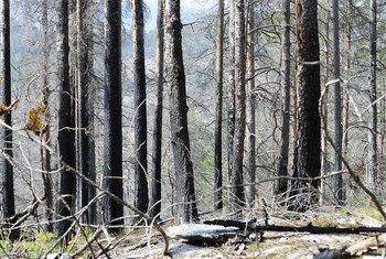 Des arbres après un incendie de forêt à Mykland, en Norvège. L'ONU appelle les Etats à inclure les risques d'incendies dans leurs stratégies nationales et locales de réduction des risques de catastrophes.