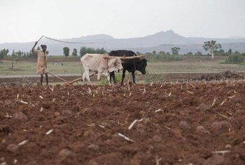 Mkulima  akiandaa shamba kwa kutumia jembe la kukokotwa kwa ng'ombe huko Bahir Dar Ethiopia.