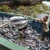 渔民在科特迪的瓦阿比让工业鱼港卸载金枪鱼。