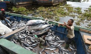Fishermen offloading tunas at the industrial fish port of Abidjan, Côte d'Ivoire.