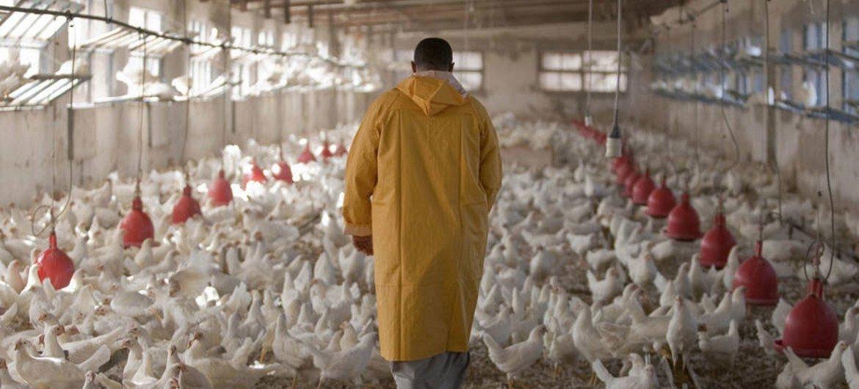 Une poulaillerie en Egypte. Les antimicrobiens sont toujours utilisés comme promoteurs de croissance pour les poulets et autres animaux de la ferme.