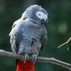 The African grey parrot, one of most trafficked birds in the world.